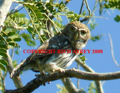 Flamulated Pygmy Owl